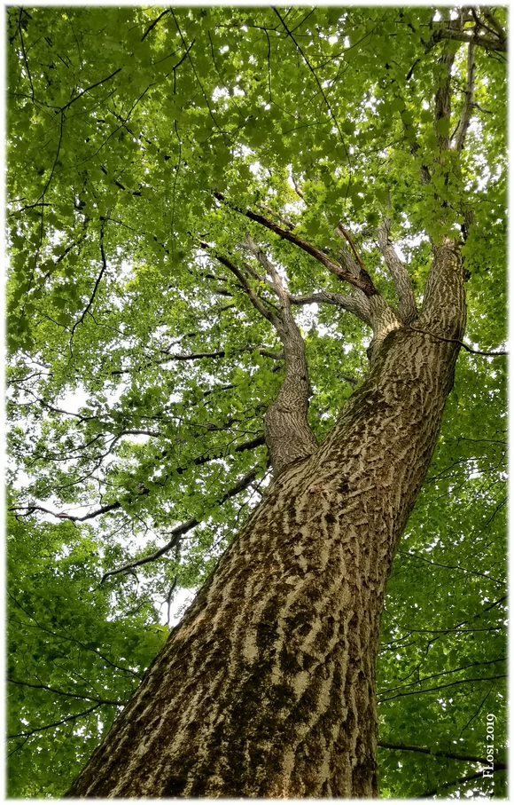 red oak trunk and canopy